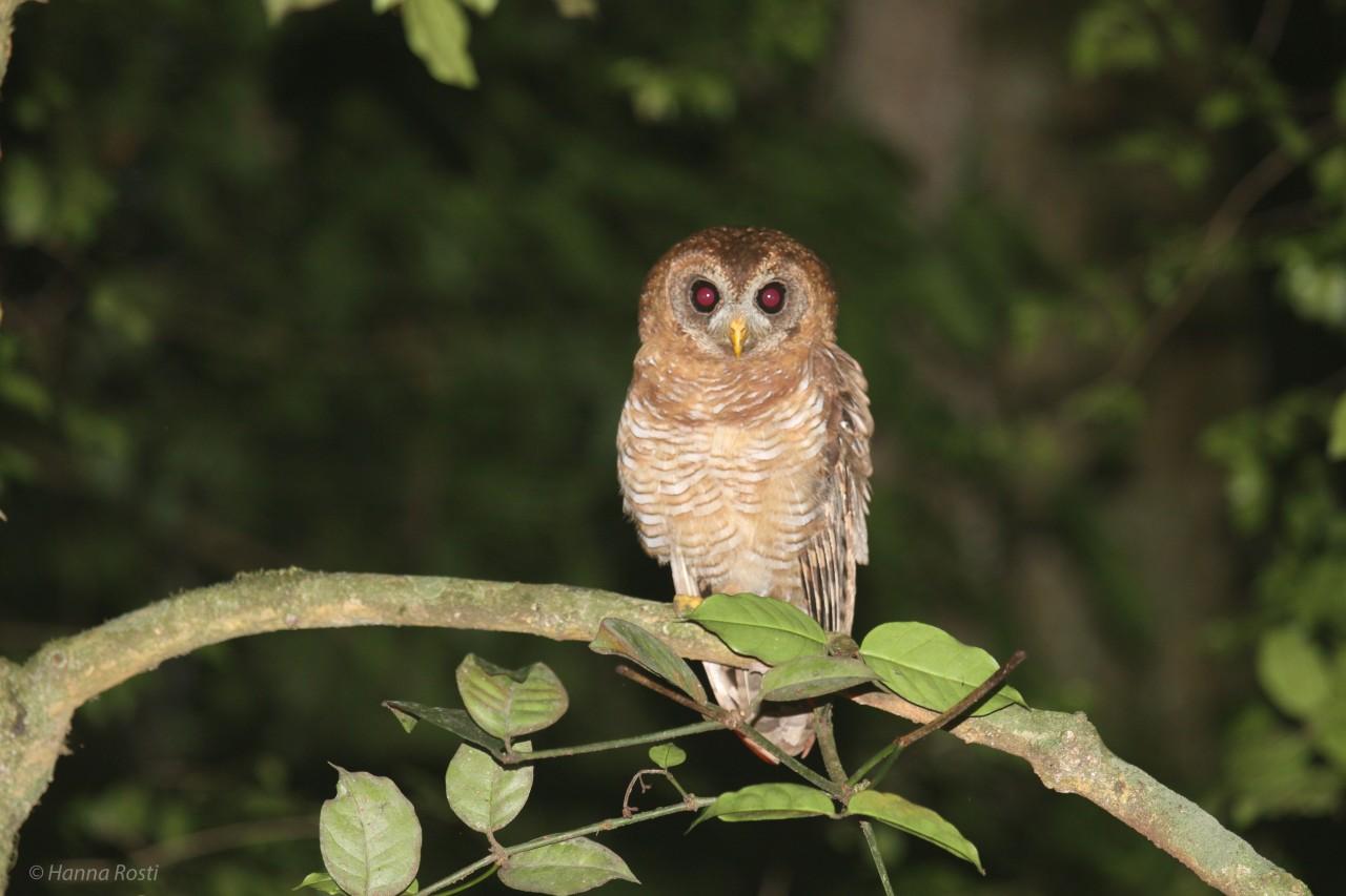 African wood owl in Taita HillsKenya