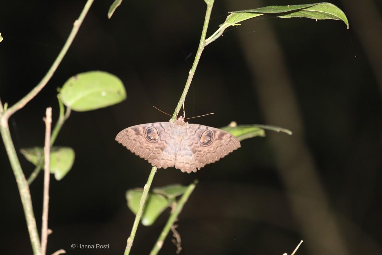 Owl butterflies of Ngangaonight