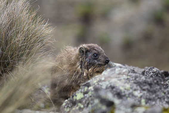 Rock hyraxes of Mt Kenya