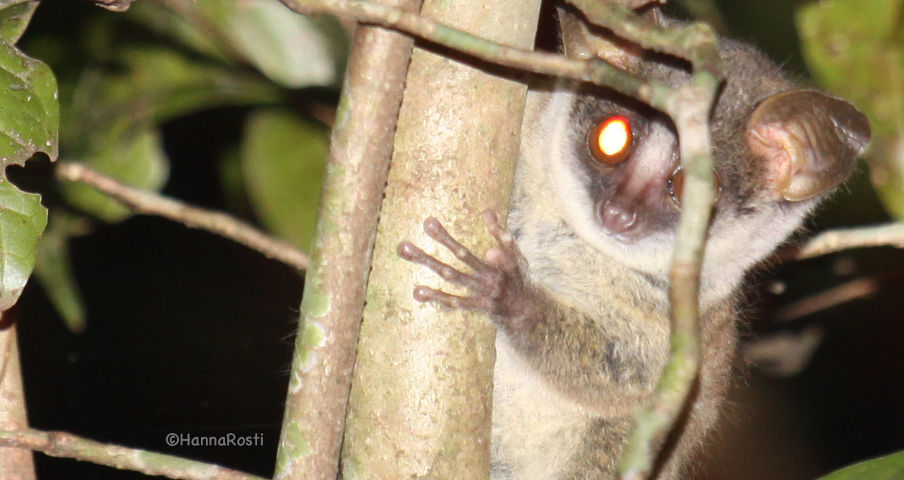 Help us protect the Taita mountain dwarf galago