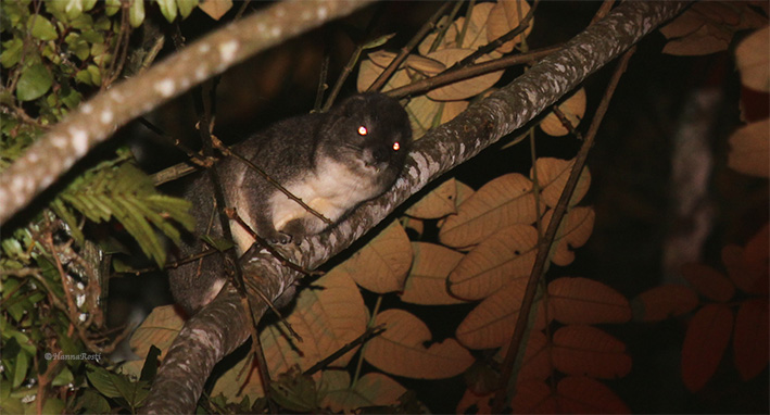 Acoustic communication of Taita tree hyrax