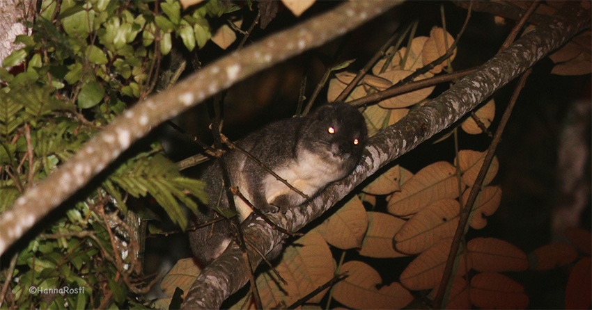 Taita tree hyrax – mysterious relict species