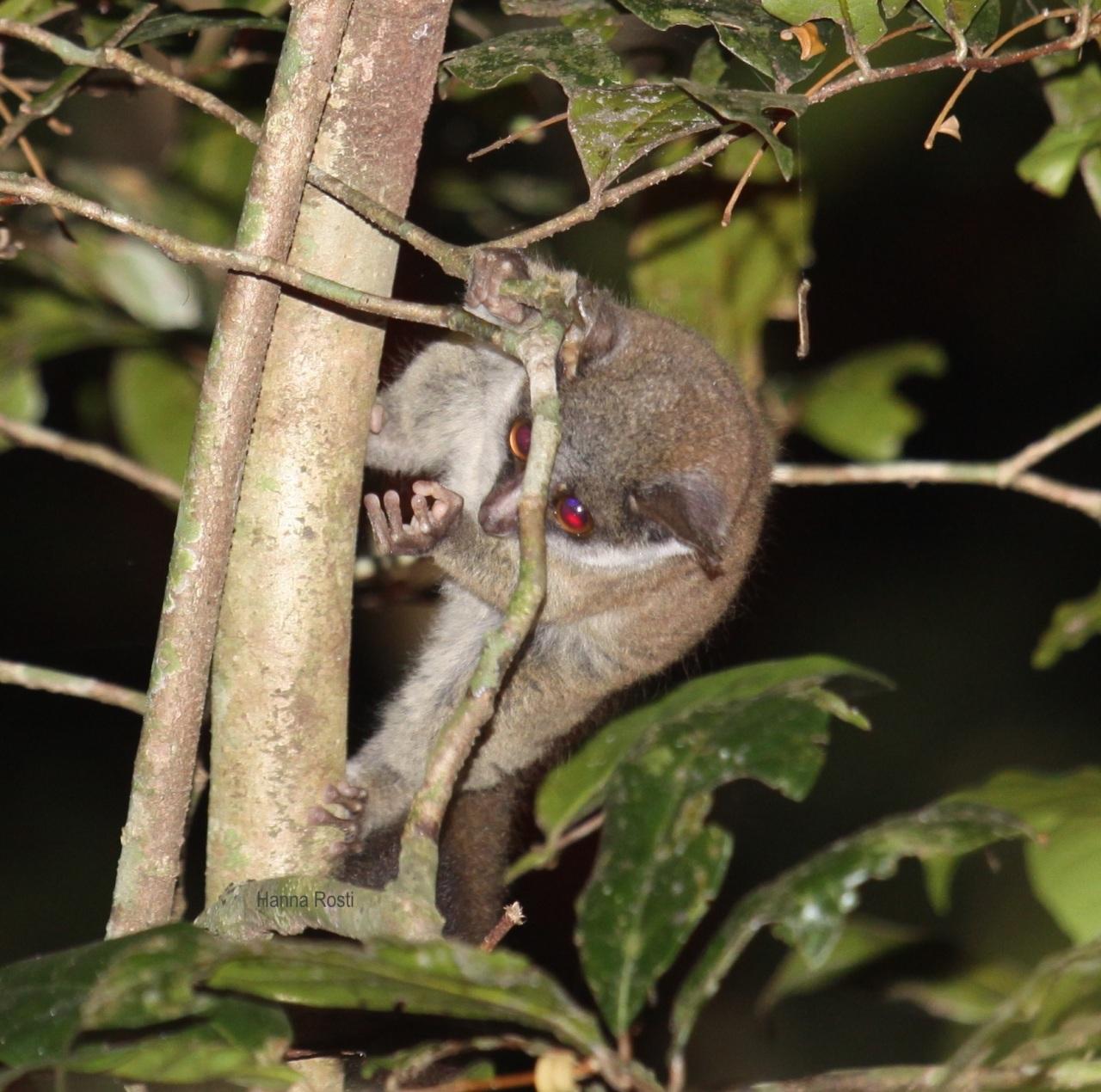 Suku Paragalago, Itä-Afrikanpikkugalagot
