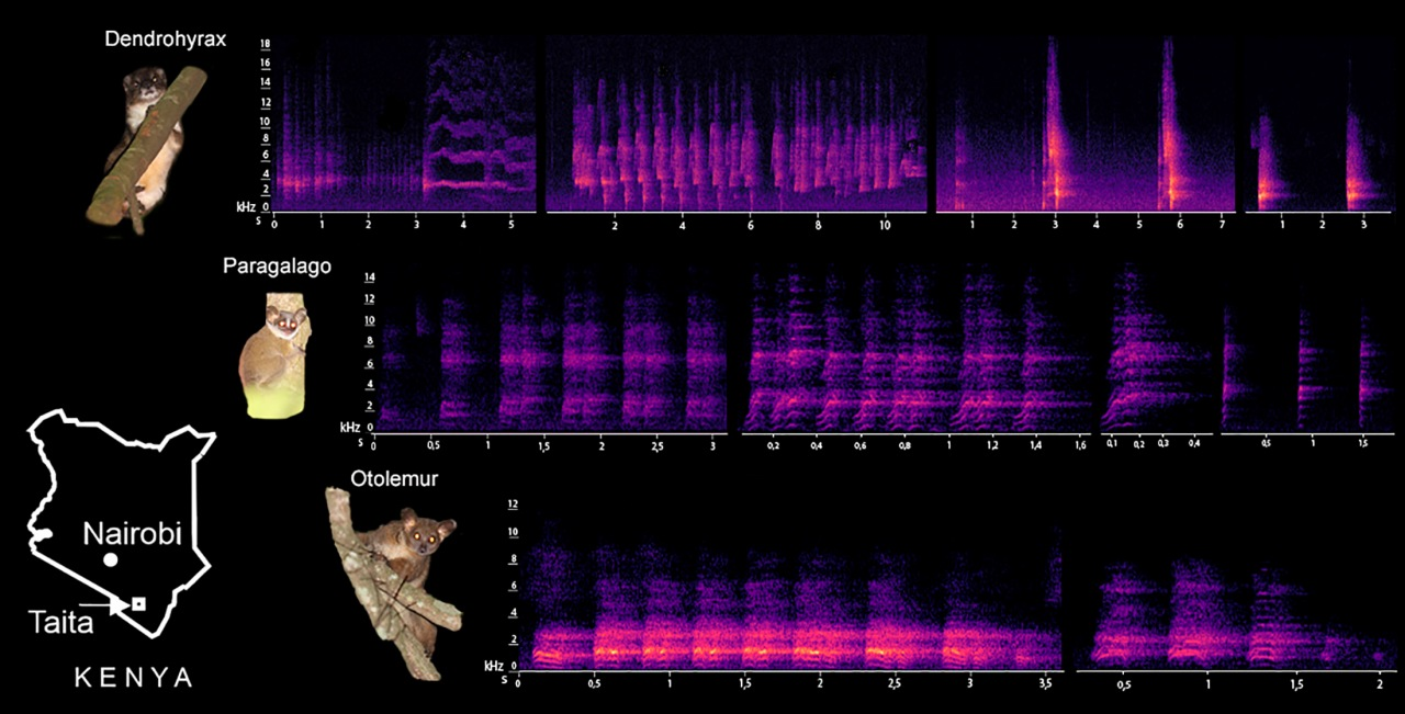 Vocalization Analyses of Nocturnal Arboreal Mammals of the Taita Hills,Kenya