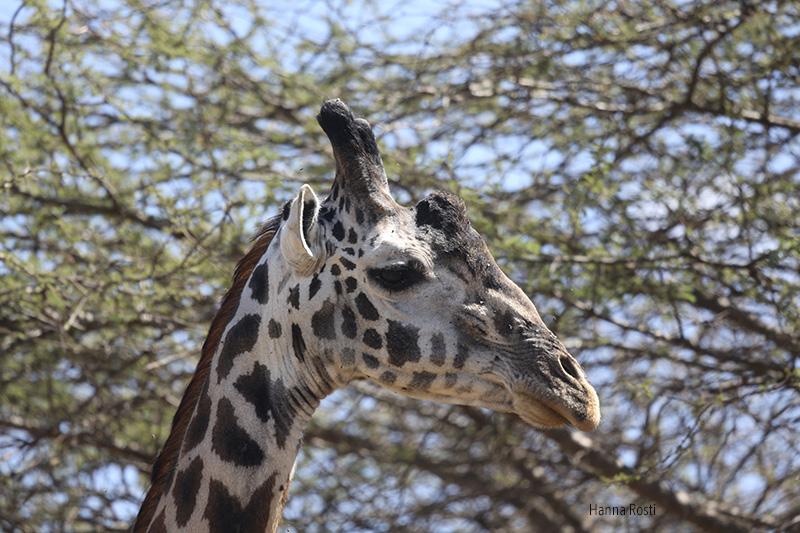 Tsavo West – land of giraffes, zebras andelephants