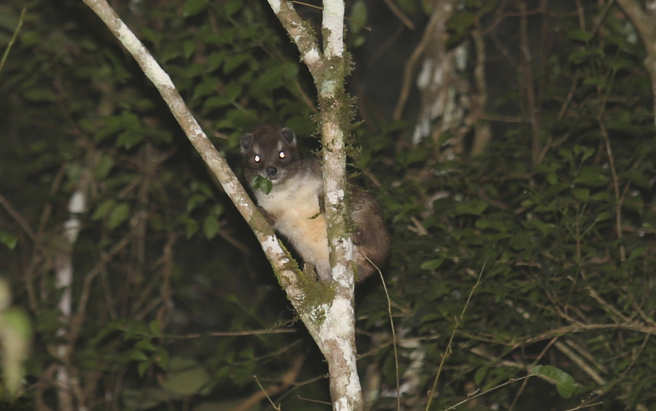 Enigmatic nocturnal mammals of Taita Hills and their potential role in sustainableeco-tourism